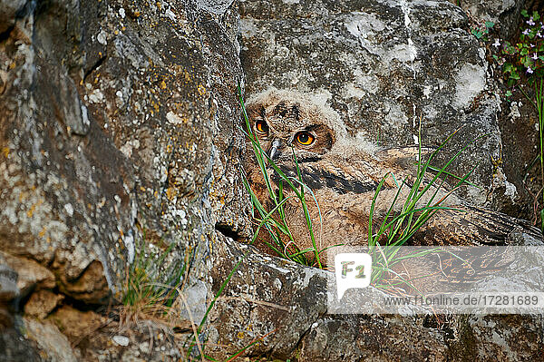 junger Uhu (Bubo bubo)  Heinsberg  Nordrhein-Westfalen  Deutschland |young Eurasian eagle-owl (Bubo bubo)  Heinsberg  North Rhine-Westphalia  Germany|