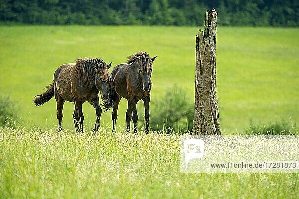 Horses  domestic horses (Equus caballus) on extensive pasture  Nidda  Hesse  Germany  Europe