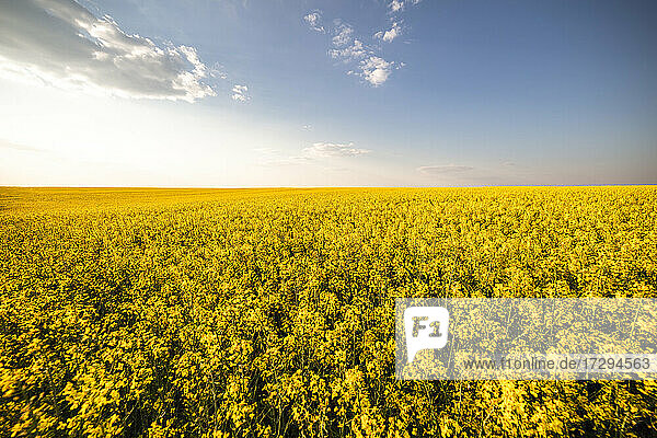 Vast oilseed rape field at summer sunset