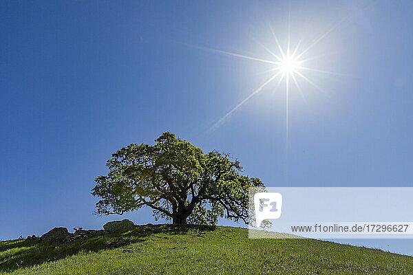 USA  Kalifornien  Walnut Creek  Die Sonne scheint über einer einzelnen kalifornischen Eiche auf einer grünen Wiese im Frühling