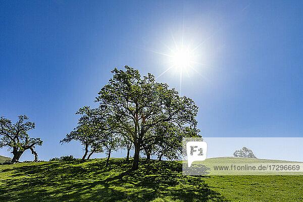 USA  Kalifornien  Walnut Creek  Sonne scheint über kalifornischen Eichen auf grüner Wiese im Frühling