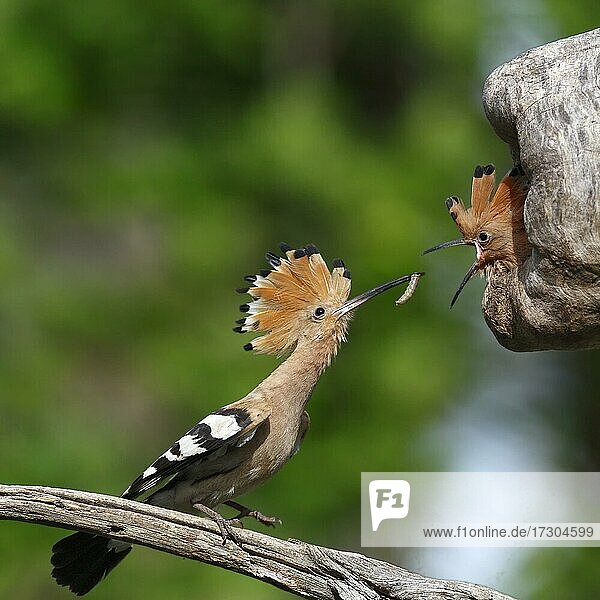 Hoopoe (Upupa epops)  feeding of the young at the breeding tube by the adult bird  food transfer  biosphere reserve Mittlere Elbe  LK Wittenberg  Saxony-Anhalt  Germany  Europe