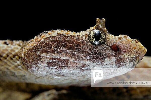 Fan Si Pan Horned Pit Viper (Protobothrops cornutus) Vietnam