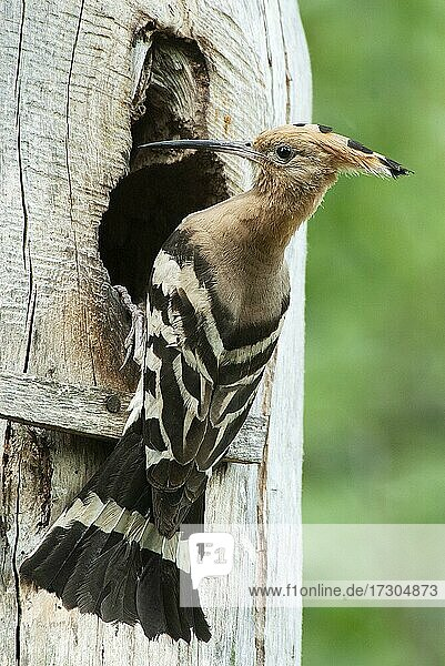 Hoopoe (Upupa epops) Hoopoe at the nesting box  Masuria  Poland  Europe
