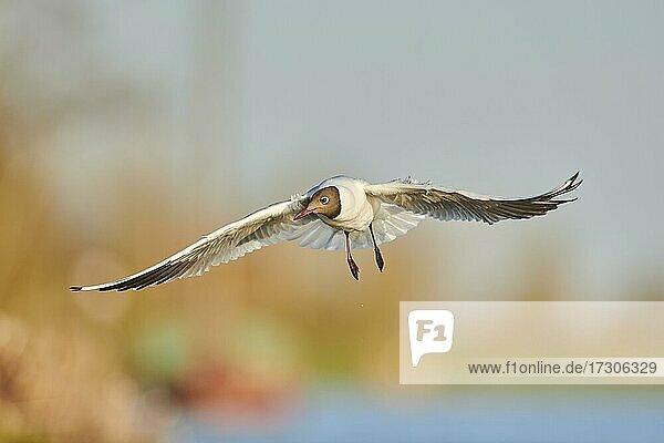 Lachmöwe (Chroicocephalus ridibundus) fliegend über dem Fluss Danubia  Bayern  Deutschland  Europa