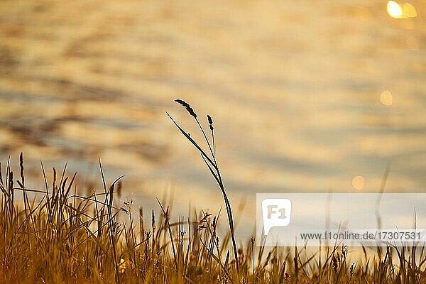 Knaulgras (Dactylis glomerata) oder Katzengras wächst neben dem Fluss Danubia bei Sonnenuntergang  Bayern  Deutschland  Europa