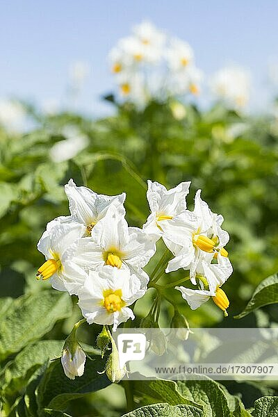 Potato (Solanum tuberosum) flowers  potato field near Kitzscher  Leipzig County  Saxony  Germany  Europe