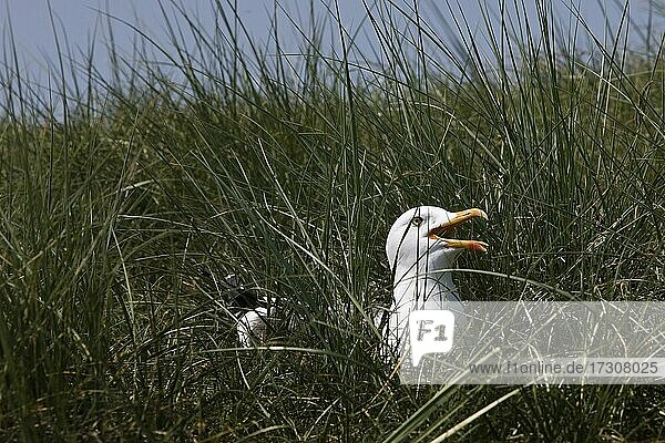 Breeding and calling European herring gull (Larus argentatus)  Insel Düne  Helgoland  Schleswig-Holstein  Germany  Europe