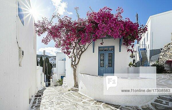 Weiß-blaue Häuser mit blühender lila Bougainvillea (Bougainvillea)  Altstadt von Lefkes  Paros  Kykladen  Griechenland  Europa