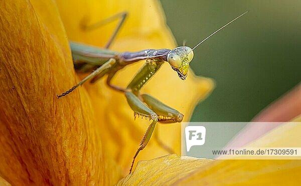 Europäische Gottesanbeterin (mantis religiosa) auf einer Blüte  Paros  Ägäis  Griechenland  Europa