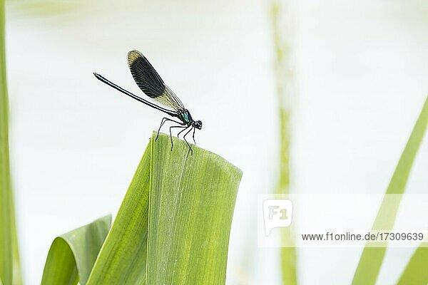 Gebänderte Prachtlibelle (calopteryx splendens) Männchen  sitzt auf Schilfblatt  Hessen  Deutschland  Europa