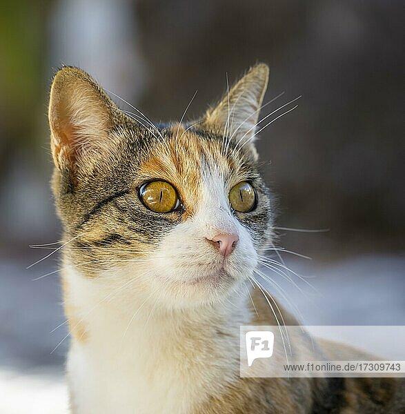 Getigerte Katze  Tierportrait  Paros  Kykladen  Ägäis  Griechenland  Europa