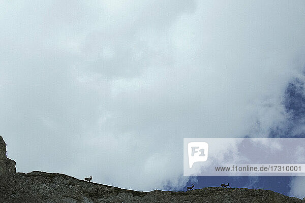 Steinbock  der entlang eines Bergrückens unter bewölktem Himmel läuft  Kanton Wallis  Schweiz