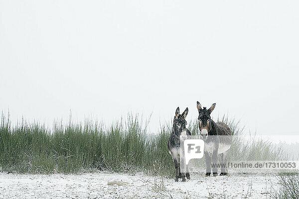 Porträt zwei Esel im verschneiten Feld