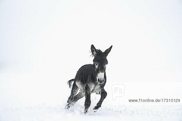 Niedlicher schwarzer Esel läuft im Schnee