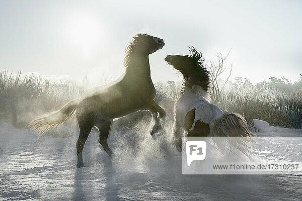 Playful Pferde Aufbäumen in sonnigen verschneiten Winter Feld