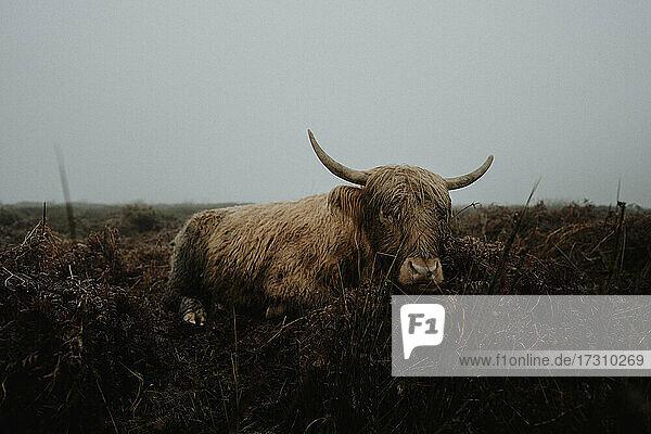 Porträt Hochlandkuh im Feld  Peak District National Park  England