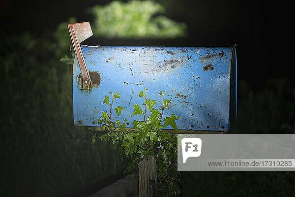 Efeu wächst auf rustikalem blauen Briefkasten