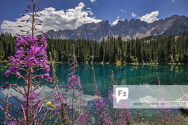 Latemar mountain range reflected in Lake Carezza (Karersee) in summer  South Tyrol  Dolomites  Italy  Europe