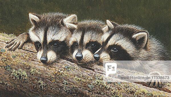 Drei Waschbären spähen über einen Baumstamm