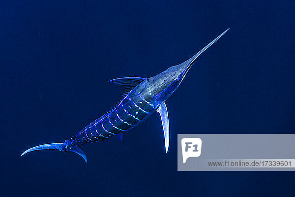 Bahamas  Blue marlin swimming near Cat Island