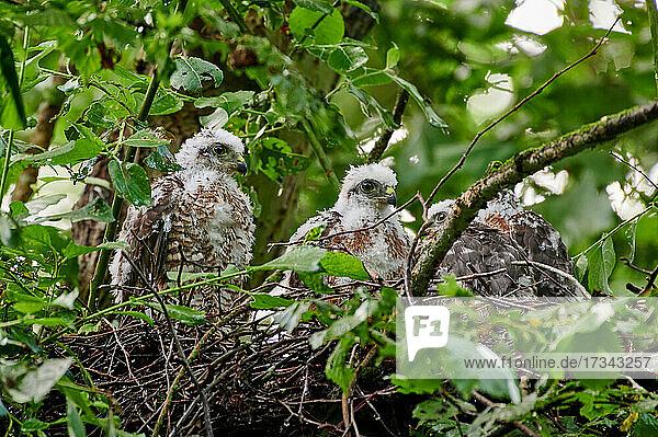 Sperber (Accipiter nisus) Jungvoegel im Nest  Heinsberg  Nordrhein-Westfalen  Deutschland  Eurasian sparrowhawk (Accipiter nisus) fledglings in nest  Heinsberg  North Rhine-Westphalia  Germany 