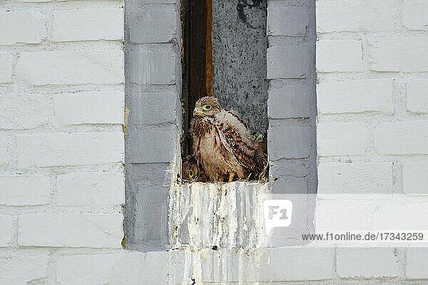 Turmfalke (Falco tinnunculus) Jungvoegel im Nest in einem Fensterschlitz eines Hauswand  Heinsberg  Nordrhein-Westfalen  Deutschland  common kestrel (Falco tinnunculus) fledglings in nest at a small window of a house  Heinsberg  North Rhine-Westphalia  Germany 