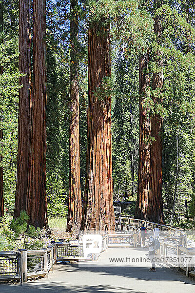 Giant Sequoia  Mariposa Grove  Yosemite National Park  UNESCO World Heritage Site  California  United States of America  North America