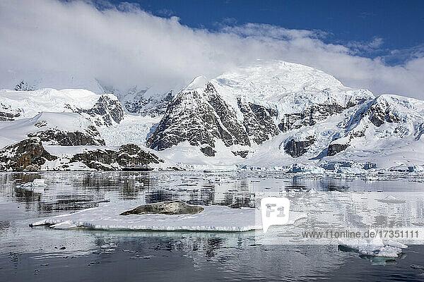 An adult leopard seal (Hydrurga leptonyx)  hauled out on an ice floe in Paradise Bay  Antarctica  Polar Regions