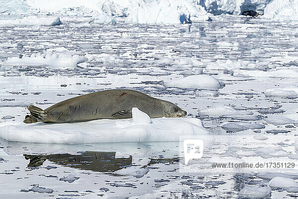 An adult crabeater seal (Lobodon carcinophaga)  hauled out on the ice in Paradise Bay  Antarctica  Polar Regions