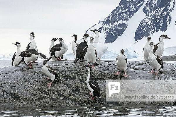 A group of adult Antarctic shags (Leucocarbo bransfieldensis)  at breeding site on Booth Island  Antarctica  Polar Regions
