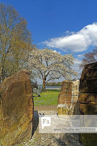 SchUM-Stadt  Speyerbachbrunnen  Kirschbaum  Kirschbaumblüten  Fluß  Rhein