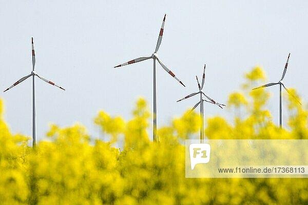 Rape field and wind turbines  Waldfeucht  Lower Rhine  North Rhine-Westphalia  Germany  Europe