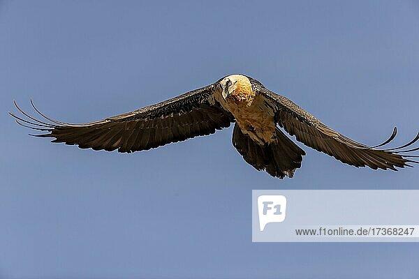 Bartgeier (Gypaetus barbatus) adult im Flug gegen den blauen Himmel  Pyrenäen  Katalonien  Spanien  Europa Bartgeier (Gypaetus barbatus) adult im Flug gegen den blauen Himmel, Pyrenäen, Katalonien, Spanien, Europa