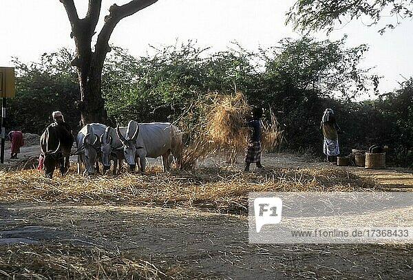 Thrashing rice sheaves with bullocks  Tamil Nadu  India  Asia