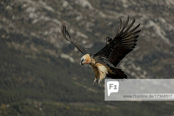 Bearded vulture (Gypaetus barbatus) adult in flight in front of mountains during landing  Pyrenees  Catalonia  Spain  Europe Bearded vulture (Gypaetus barbatus) adult in flight in front of mountains during landing, Pyrenees, Catalonia, Spain, Europe