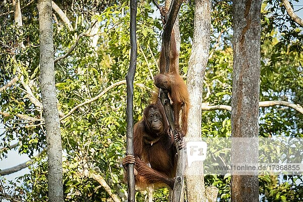 Bornean orangutan (Pongo pygmaeus) climbing tree  Tanjung Puting National Park  Central Kalimantan  Borneo  Indonesia  Asia Bornean orangutan (Pongo pygmaeus) climbing tree, Tanjung Puting National Park, Central Kalimantan, Borneo, Indonesia, Asia