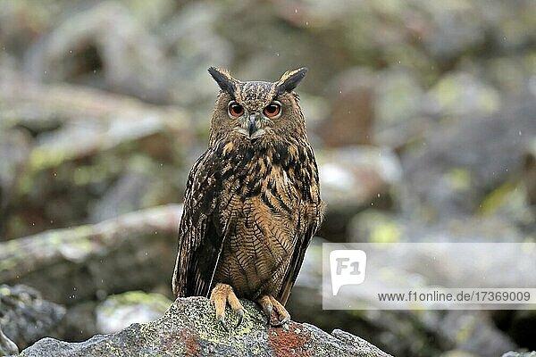 Eurasian eagle owl (Bubo bubo)  adult  on rocks  in autumn  alert  Bohemian Forest  Czech Republic  Europe Eurasian eagle owl (Bubo bubo), adult, on rocks, in autumn, alert, Bohemian Forest, Czech Republic, Europe