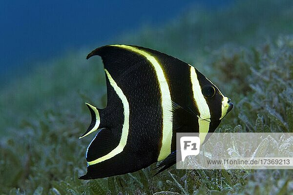 French Angelfish (Pomacanthus paru)  juvenile form  swimming over seagrass meadow  Caribbean Sea near Maria la Gorda  Pinar del Río Province  Caribbean  Cuba  Central America French Angelfish (Pomacanthus paru), juvenile form, swimming over seagrass meadow, Caribbean Sea near Maria la Gorda, Pinar del Río Province, Caribbean, Cuba, Central America
