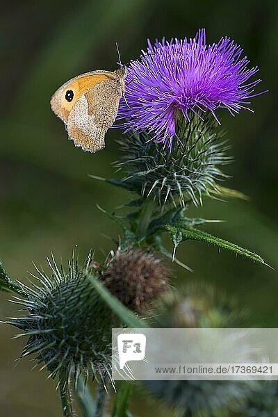 Distelblüte mit Schmetterling  Großes Ochsenauge (Maniola jurtina)  Bayern  Deutschland  Europa Distelblüte mit Schmetterling, Großes Ochsenauge (Maniola jurtina), Bayern, Deutschland, Europa