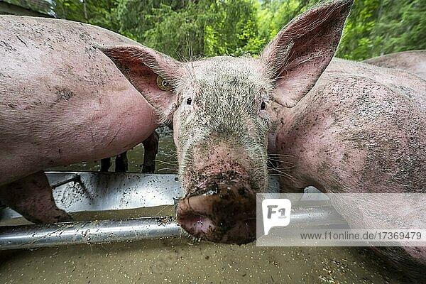 Domestic Pigs (Sus scrofa domesticus) at a trough in an outdoor enclosure  Allgäu  Bavaria  Germany  Europe Domestic Pigs (Sus scrofa domesticus) at a trough in an outdoor enclosure, Allgäu, Bavaria, Germany, Europe