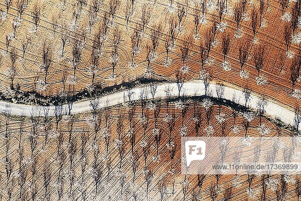 Country road amidst cultivated almond trees (Prunus dulcis) in full blossom in February  aerial view  drone shot  Almería province  Andalusia  Spain  Europe Country road amidst cultivated almond trees (Prunus dulcis) in full blossom in February, aerial view, drone shot, Almería province, Andalusia, Spain, Europe
