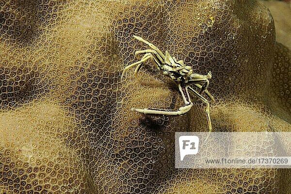 Spinnenkrabbe (Hyastenus uncifer)  Philippinensee  Pazifik  Negros  Visayas Archipel  Philippinen  Asien Spinnenkrabbe (Hyastenus uncifer), Philippinensee, Pazifik, Negros, Visayas Archipel, Philippinen, Asien