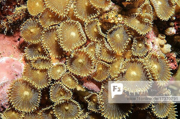 Button Coral (Palythoa mutuki)  Indo-Pacific  Visayas  Philippines  Asia Button Coral (Palythoa mutuki), Indo-Pacific, Visayas, Philippines, Asia