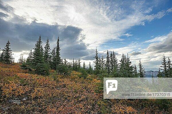 Herbstlich verfärbte rote und gelbe Büsche zwischen Nadelbäumen  Berglandschaft  Jasper National Park  British Columbia  Kanada  Nordamerika Herbstlich verfärbte rote und gelbe Büsche zwischen Nadelbäumen, Berglandschaft, Jasper National Park, British Columbia, Kanada, Nordamerika