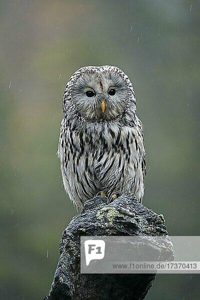 Ural owl (Strix uralensis)  adult  waiting  alert  Bohemian Forest  Czech Republic  Europe Ural owl (Strix uralensis), adult, waiting, alert, Bohemian Forest, Czech Republic, Europe