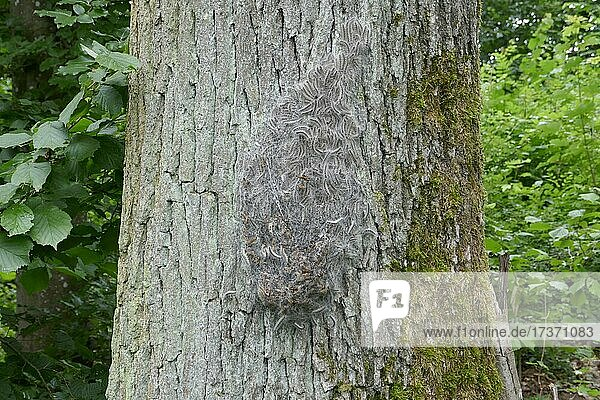 Oak Processionary Moth (Thaumetopoea processionea) caterpillars  nest  pest  dangerous  allergy  Baden-Württemberg  Germany  Europe