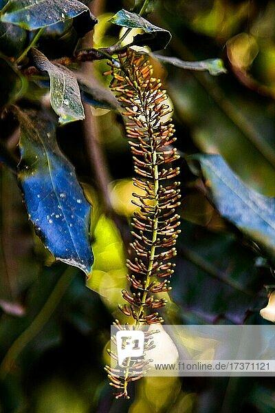 Blüte des Macadamia-Baums  Macadamia-Farm  Antigua  Guatemala  Mittelamerika Blüte des Macadamia-Baums, Macadamia-Farm, Antigua, Guatemala, Mittelamerika