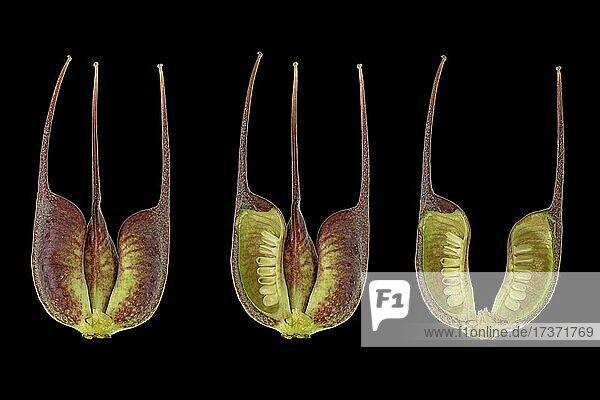 Barnhaven hybrid (Helleborus × hybridus)  fruit set  cut open  picture panel  Eurasia  occurrence Caucasus  Germany  Europe