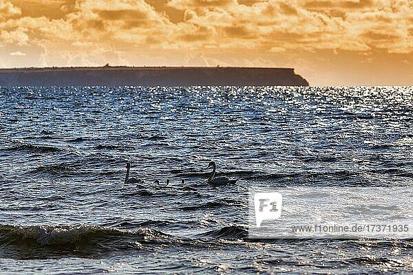 Schwanenfamilie schwimmt vor der Küste der Insel Stora Karlsö  Abendlicht  Gotland  Schweden  Europa Schwanenfamilie schwimmt vor der Küste der Insel Stora Karlsö, Abendlicht, Gotland, Schweden, Europa